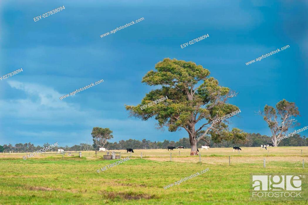 Imagen: Lone gumtree in cow paddock under dark clouds.