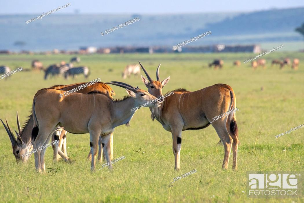 Imagen: Common eland (Taurotragus oryx) gather together in field in the Maasai Mara National Reserve, Kenya.