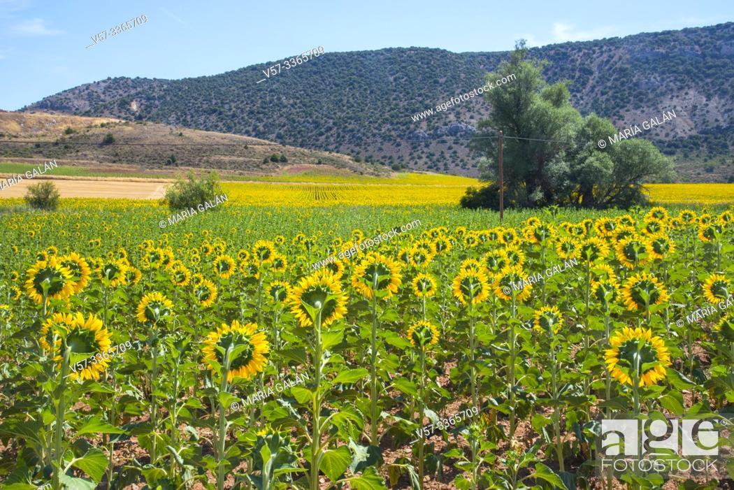 Stock Photo: Sunflowers field. Riba de Saelices, Guadalajara province, Castilla La Mancha, Spain.