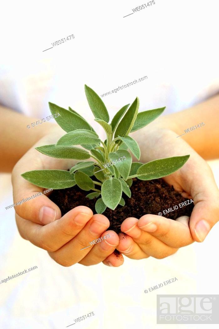 Stock Photo: Sage (Salvia officinalis).