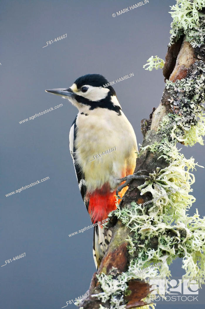 Stock Photo: Great Spotted Woodpecker (Dendrocopos major) female perched on lichen-covered branch. Scotland.