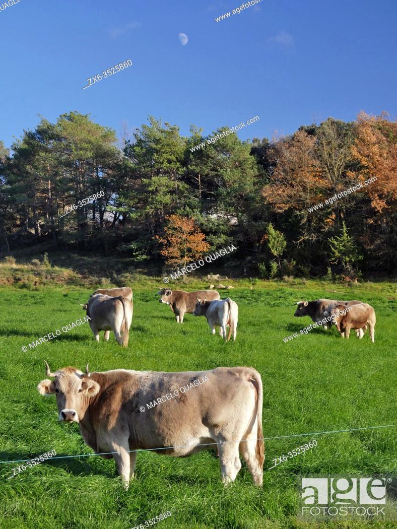 Stock Photo: Cattle grazing in the pasture. Sant Martí d'Albars village countryside. Lluçanès region, Barcelona province, Catalonia, Spain.