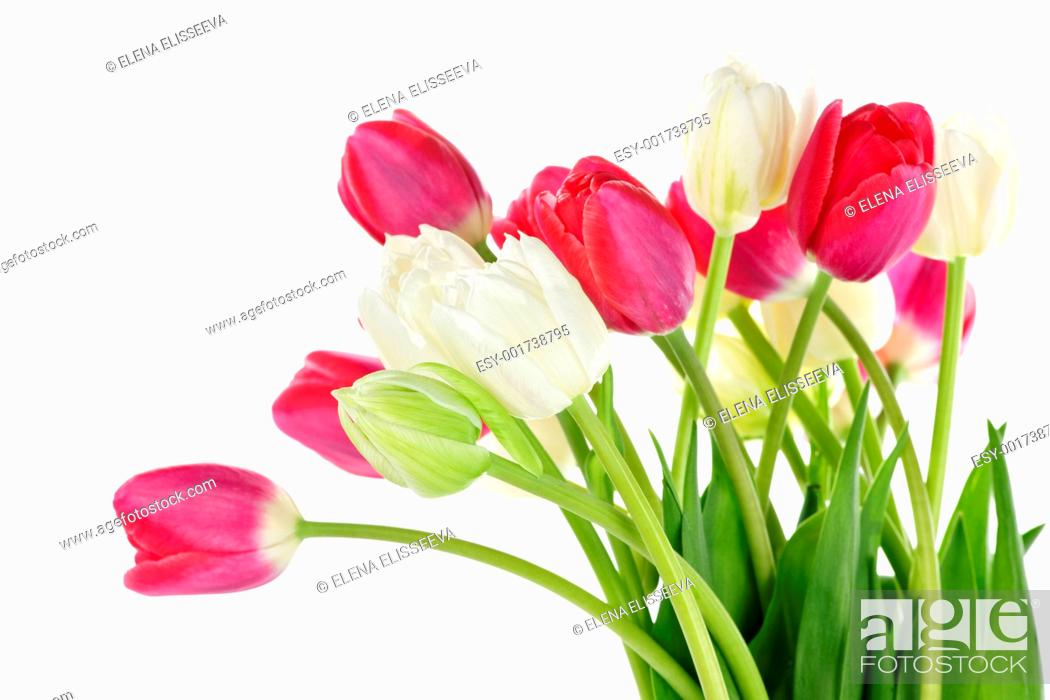 Stock Photo: Red and white tulips.