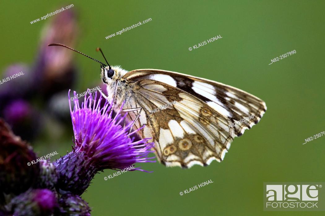 Stock Photo: Marbled White Butterfly Melanargia galathea on Marsh thistle Cirsium palustre - Hesselberg region, Bavaria/Germany.