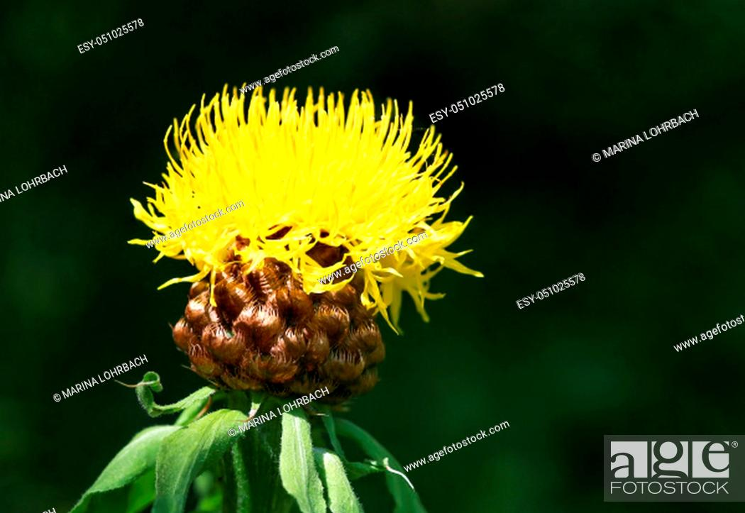 Stock Photo: Large-headed knapweed feeds bees in the garden.