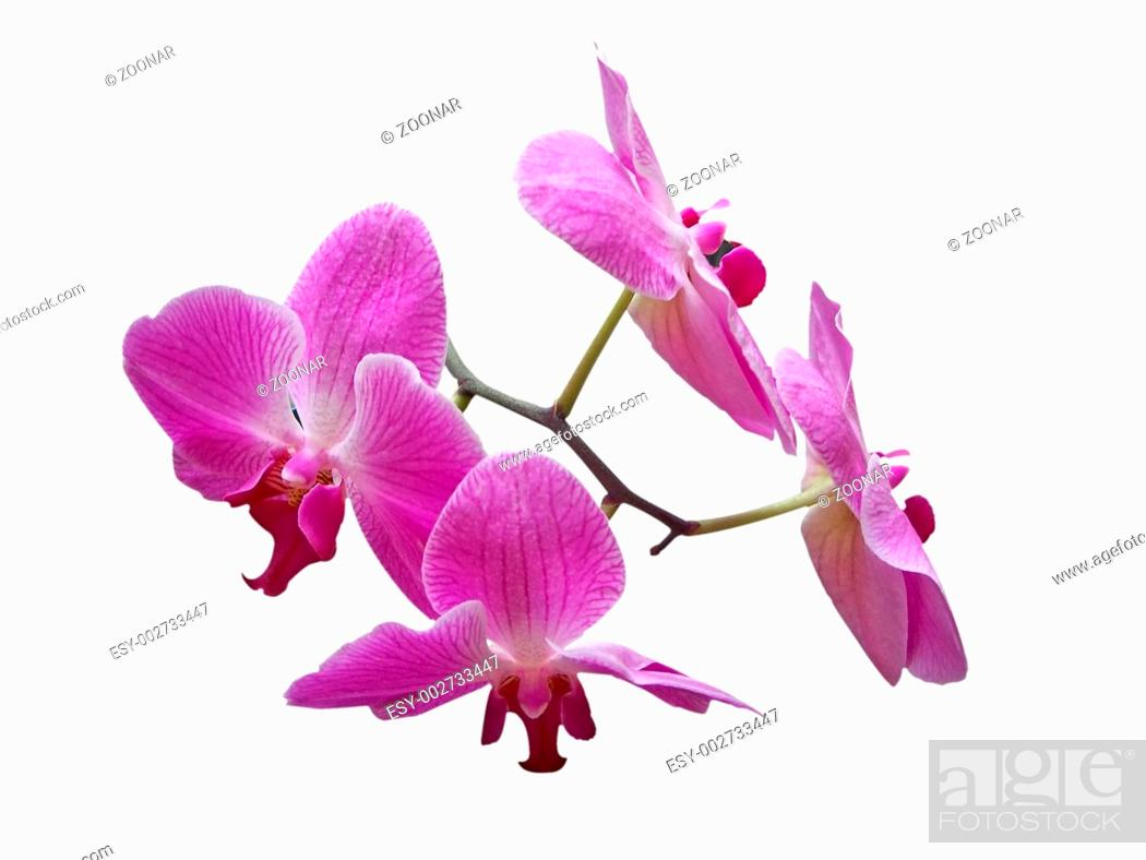Imagen: Purpurfarbene Phalaenopsis - Purple Phalaenopsis.