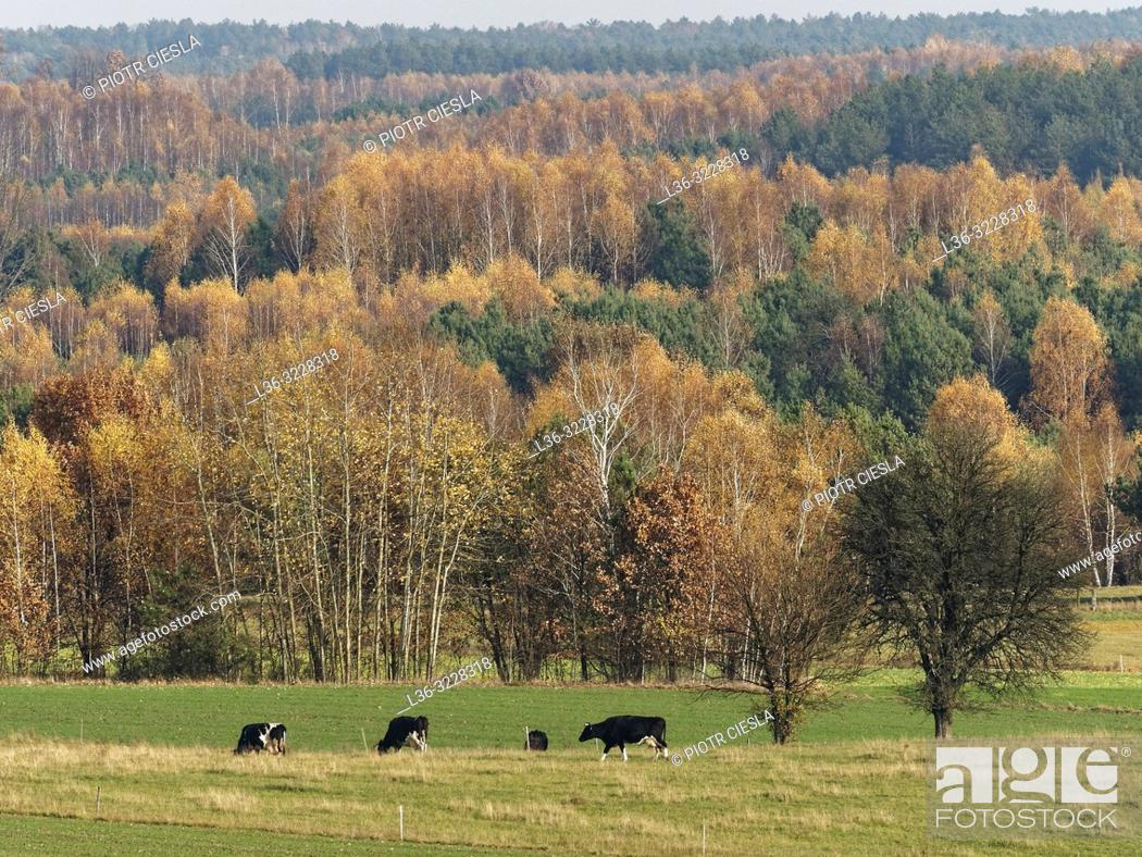 Stock Photo: Poland. Autumn landscape with cows.