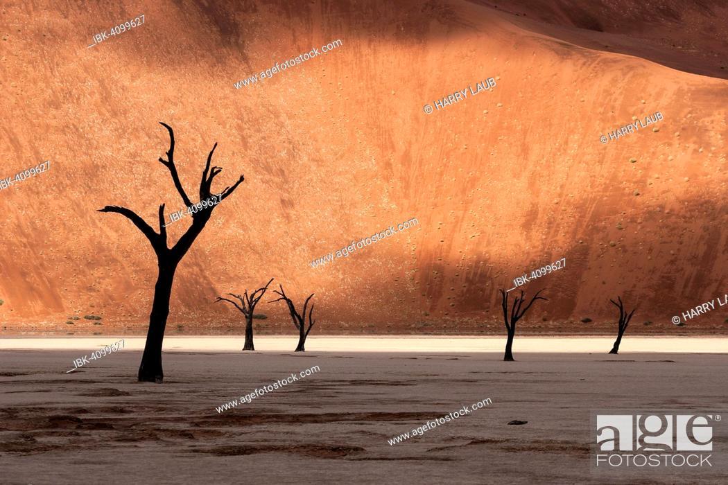 Stock Photo: Dead camel thorn trees (Vachellia erioloba), sand dune, Dead Vlei Sossusvlei, Namib Desert, Namib-Naukluft National Park, Namibia.