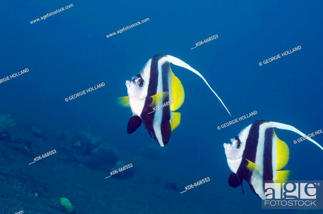 Stock Photo: Longfin bannerfish ( Heniochus acuminiatus).  Indonesia.