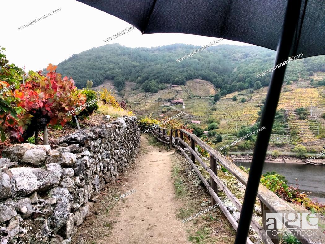 Imagen: Track across the 'Mencía' variety vineyards in autumn, and Belesar in background, Chantada municipality, Ribeira Sacra, Lugo, Spain.