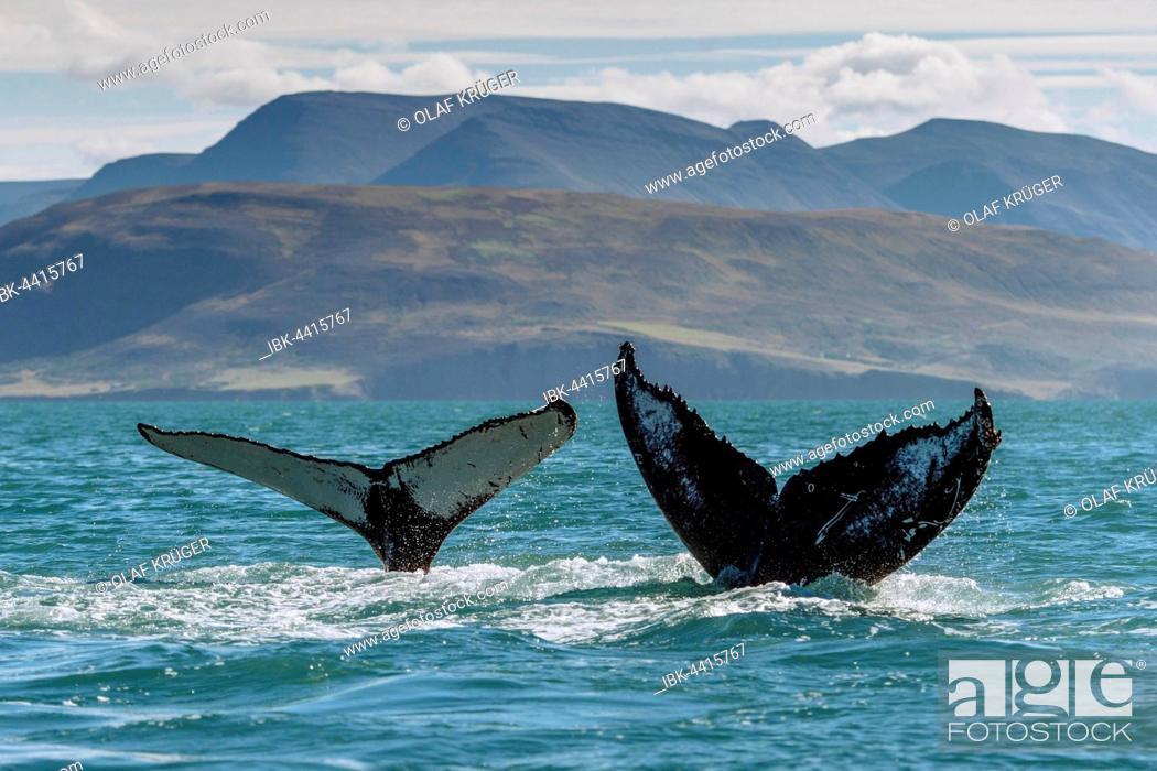 Stock Photo: Tail, flukes, diving humpback whales (Megaptera novaeangliae), Eyjafjörður, Iceland.