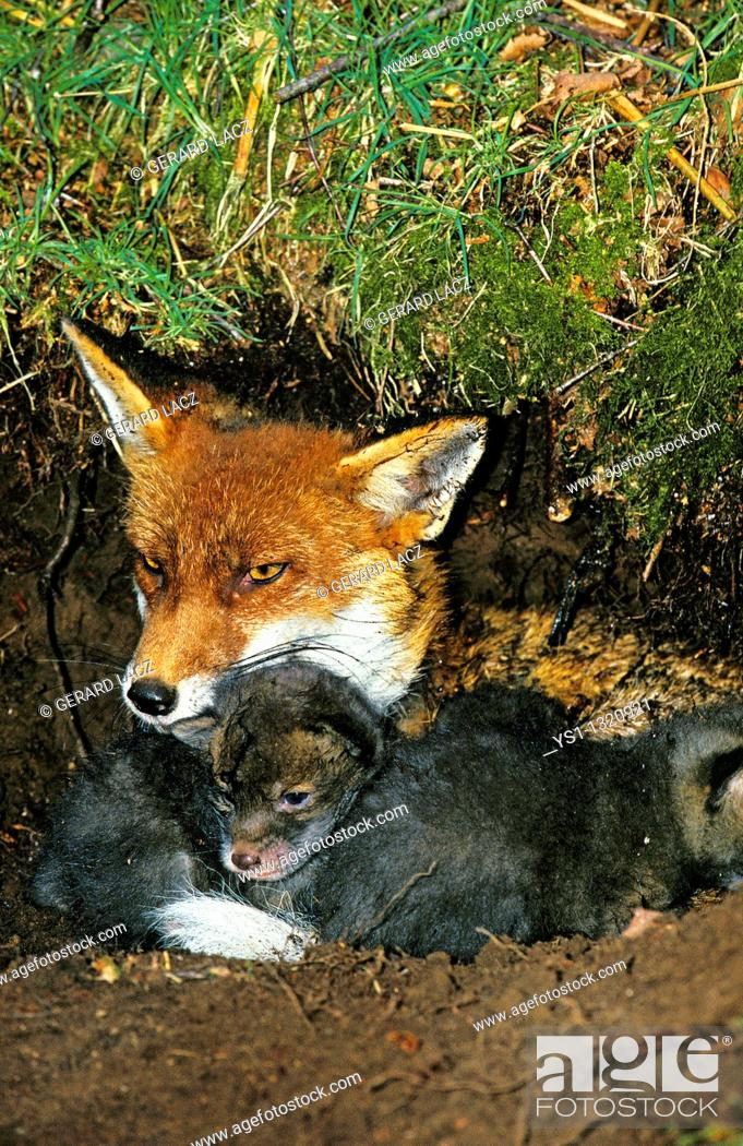 Stock Photo: RED FOX vulpes vulpes, FEMALE WITH PUPS IN DEN, NORMANDY IN FRANCE.