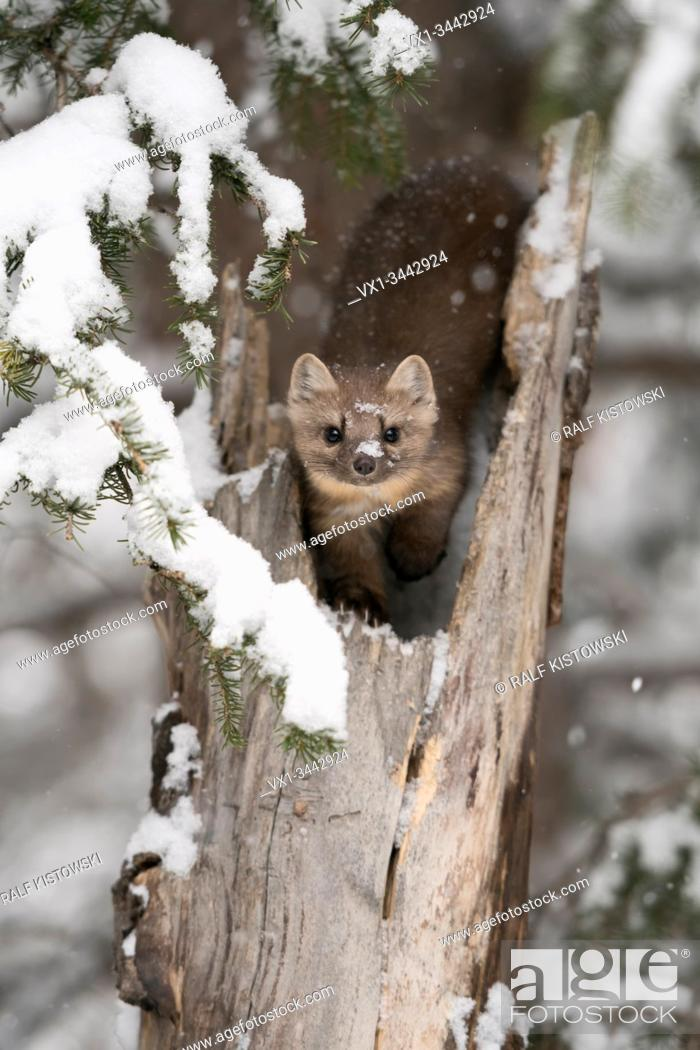 Stock Photo: American Pine Marten (Martes americana) in winter, sitting in a broken tree, watching attentively, eye contact, Yellowstone NP, USA. .