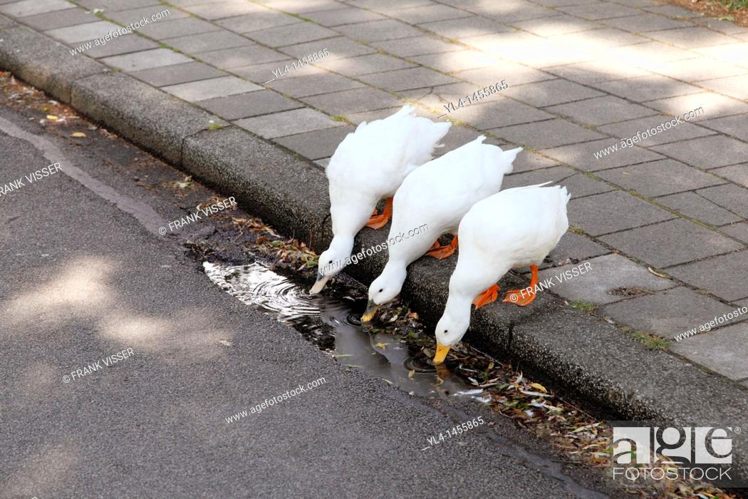 Stock Photo: Ducks drinking water from the gutter.