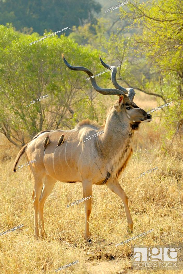 Stock Photo: greater Kudu - walking / Tragelaphus strepsiceros.