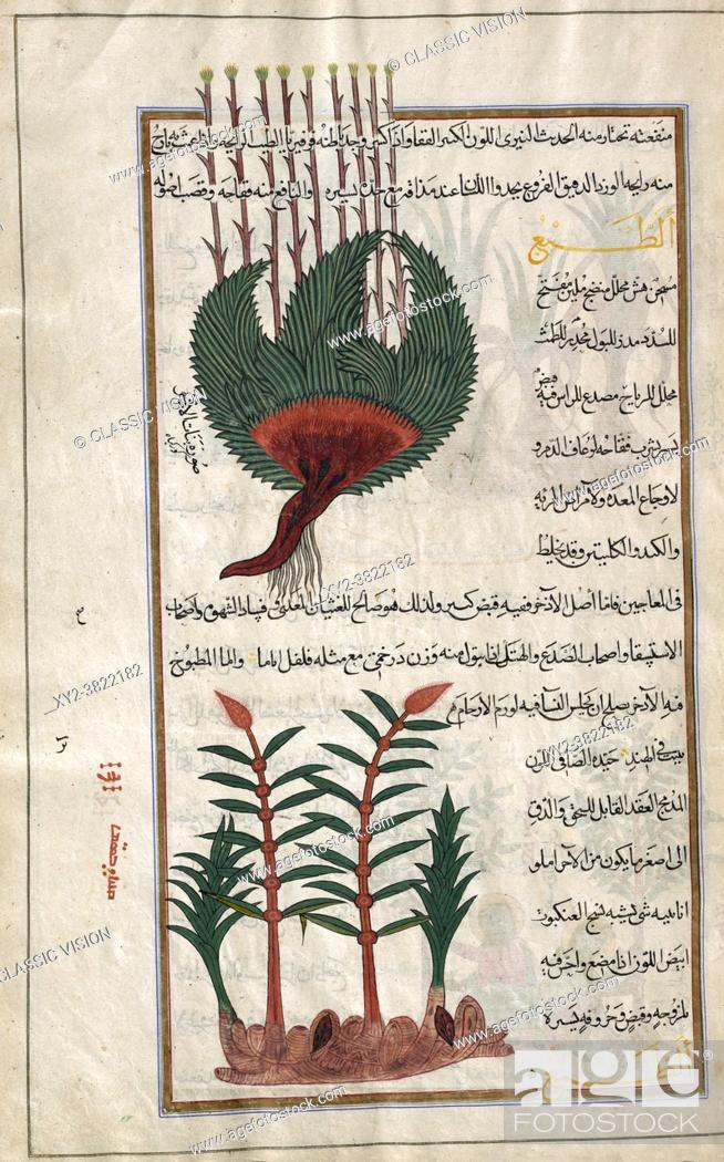 Stock Photo: Identified in the book as two varieties of Sweet flag. Acorus calamus. After an illustration by Mirza Baqir in a 19th-century Iranian book of Greek physician.