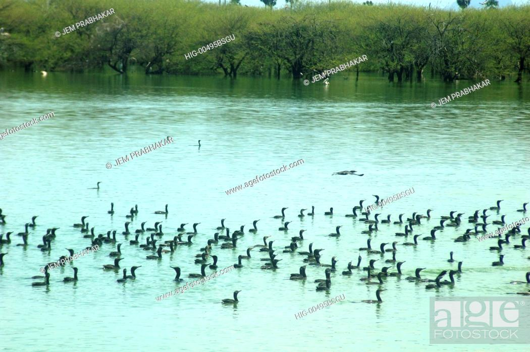 Stock Photo: LESSER CORMORANTS IN KOONTHAKULAM BIRD SANCTUARY, TAMILNADU, INDIA.