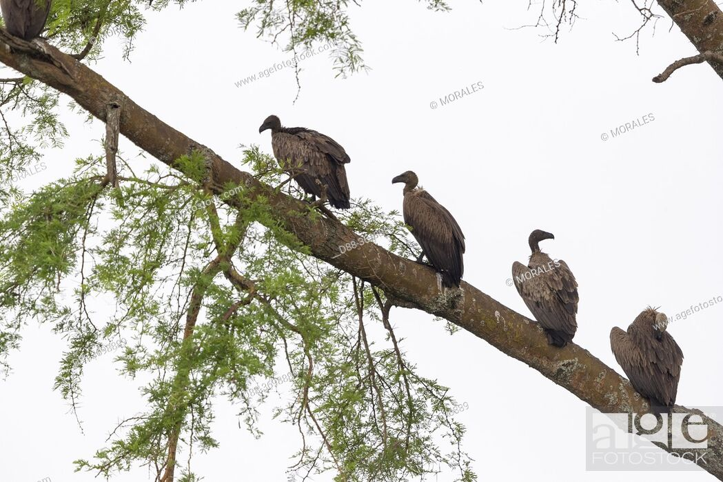 Photo de stock: White-backed Vulture (Gyps africanus) , perched on a tree, Ishasha Sector, Queen Elizabeth National Park, Uganda, Africa.