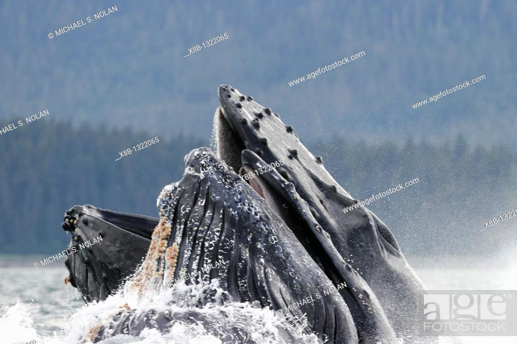 Stock Photo: Humpback whales Megaptera novaeangliae co-operatively bubble-net feeding note the blowholes and tubercles in Stephen's Passage, Southeast Alaska.