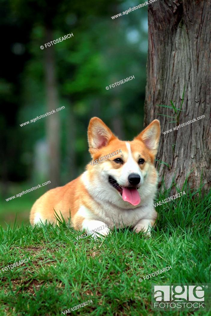 Stock Photo: canines, animal, domestic, corgi, dog, pet.