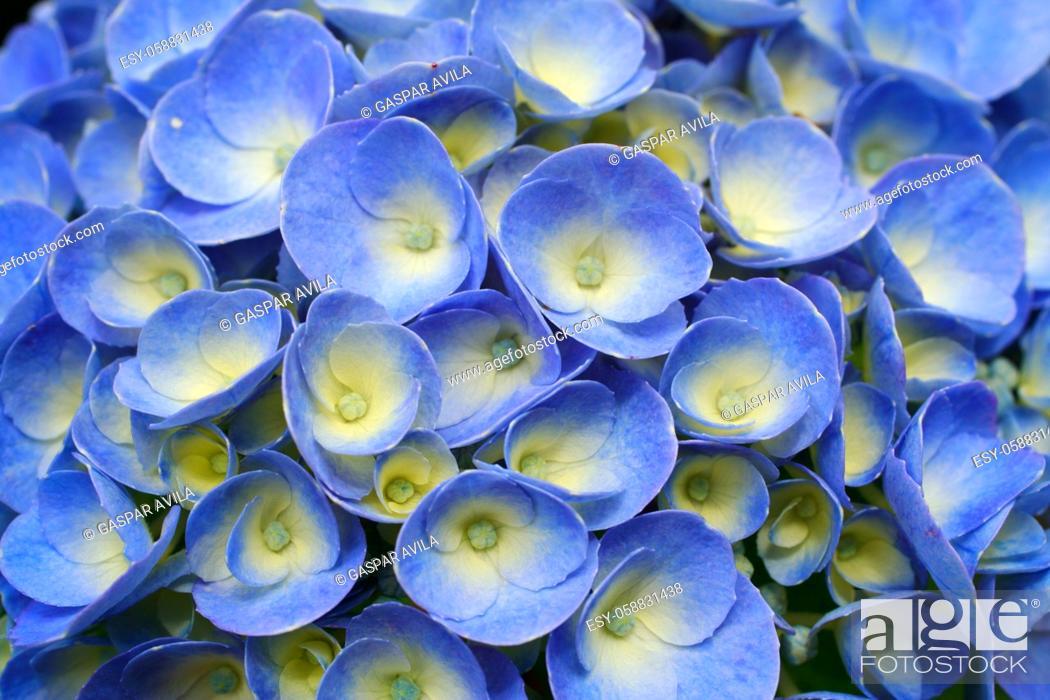 Imagen: Hydrangea closeup.