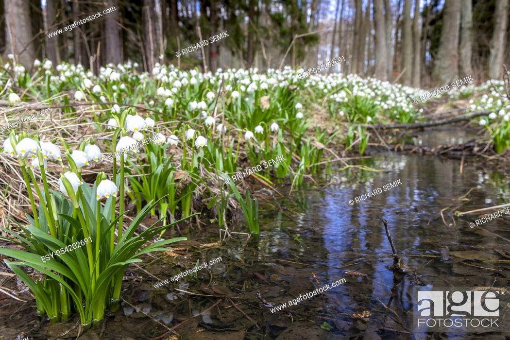 Stock Photo: early spring forest with spring snowflake, Vysocina, Czech Repubic.