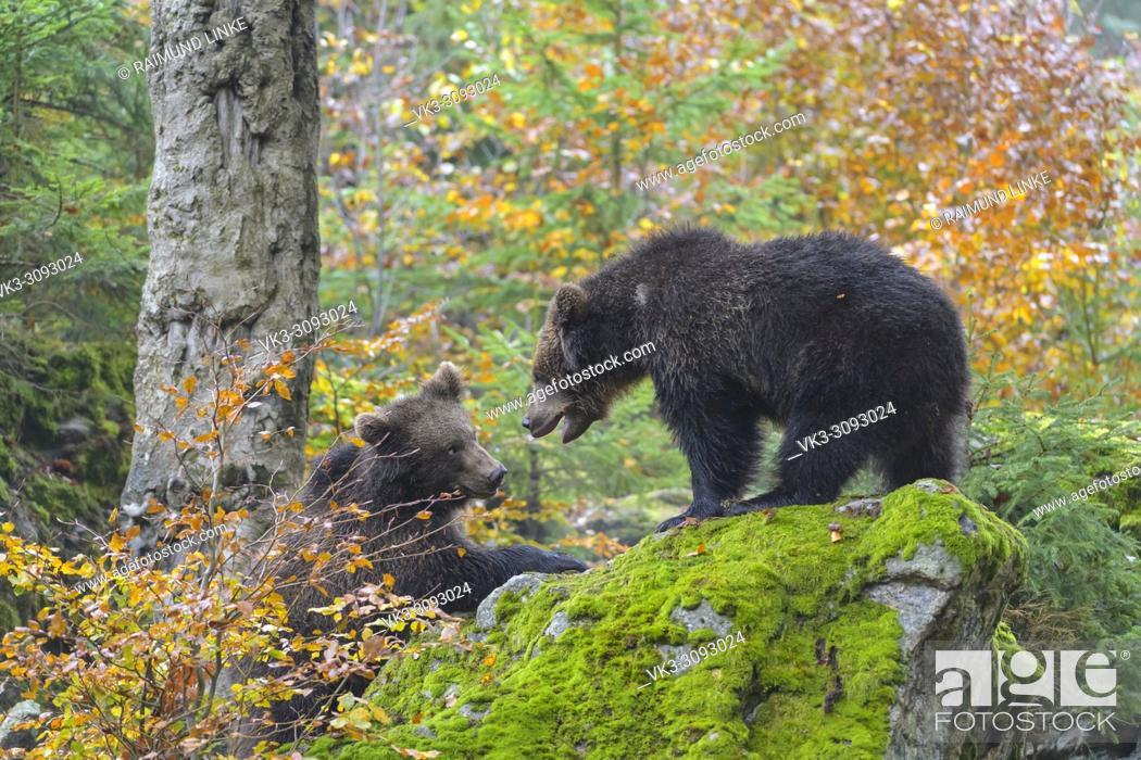 Imagen: Brown Bears, Ursus arctos, two cubs fighting, Germany.