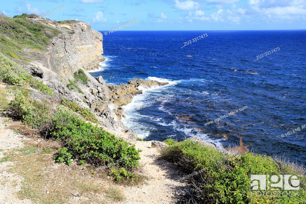 Stock Photo: Lines of sargassum stretch for miles along the ocean surface, Guadeloupe, Caribbean islands, France.