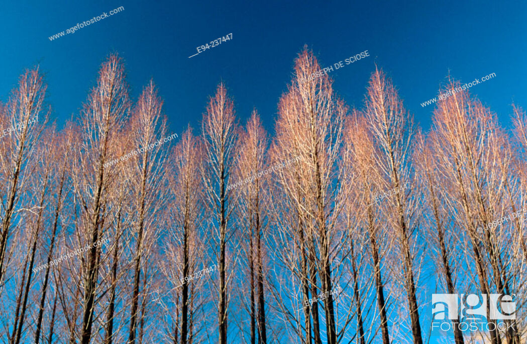 Stock Photo: Metasequoia trees in winter. New York state. USA.