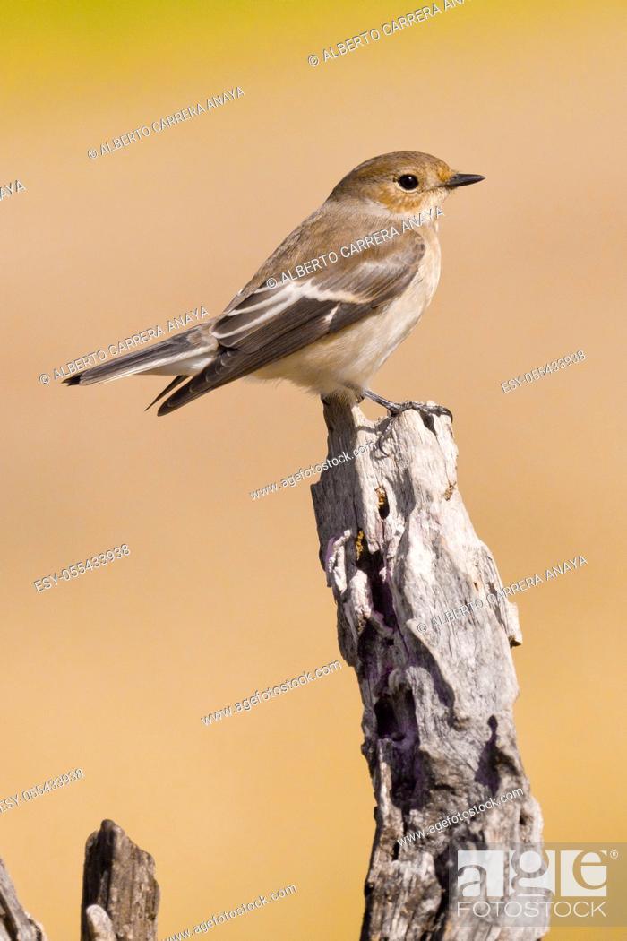 Imagen: Pied Flycatcher, Ficedula hypoleuca, Papamoscas Cerrojillo, Castilla y León, Spain, Europe.