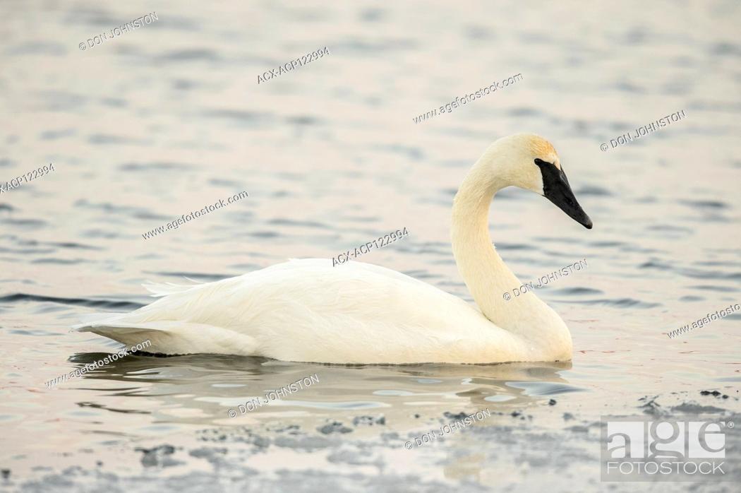 Imagen: Trumpeter swan (Cygnus buccinator), Fielding Park Sanctuary, Greater Sudbury, Ontario, Canada.