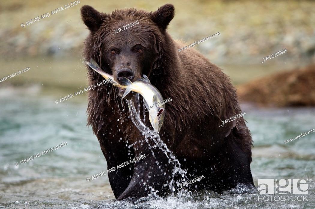 Imagen: Grizzly Bear (Ursus arctos horribilis) fishing salmon at Katmai national park, USA.