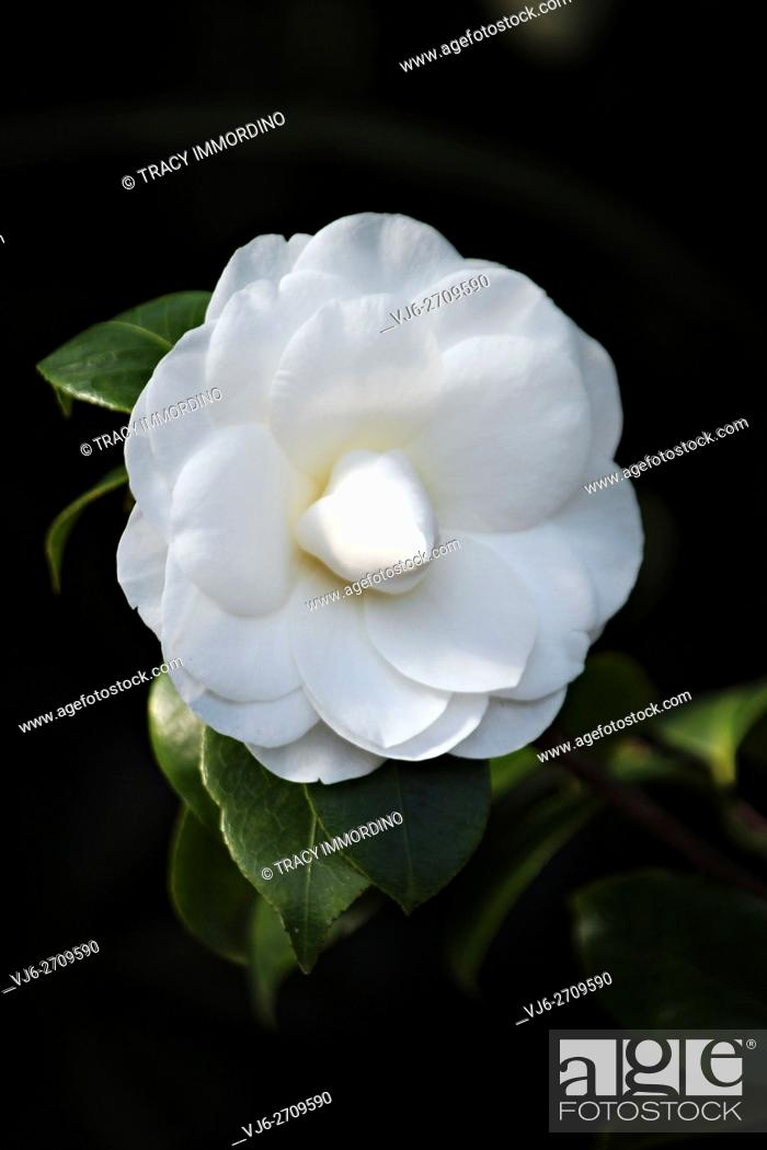 Stock Photo: Close up of a single white Nuccio's Gem Camellia in full bloom with a black background.