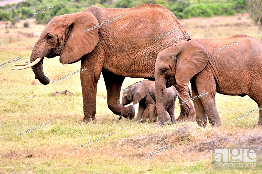 Stock Photo: Three elephants, Loxodonta africana, young baby and its parents in Tsavo East National Park, Kenya.