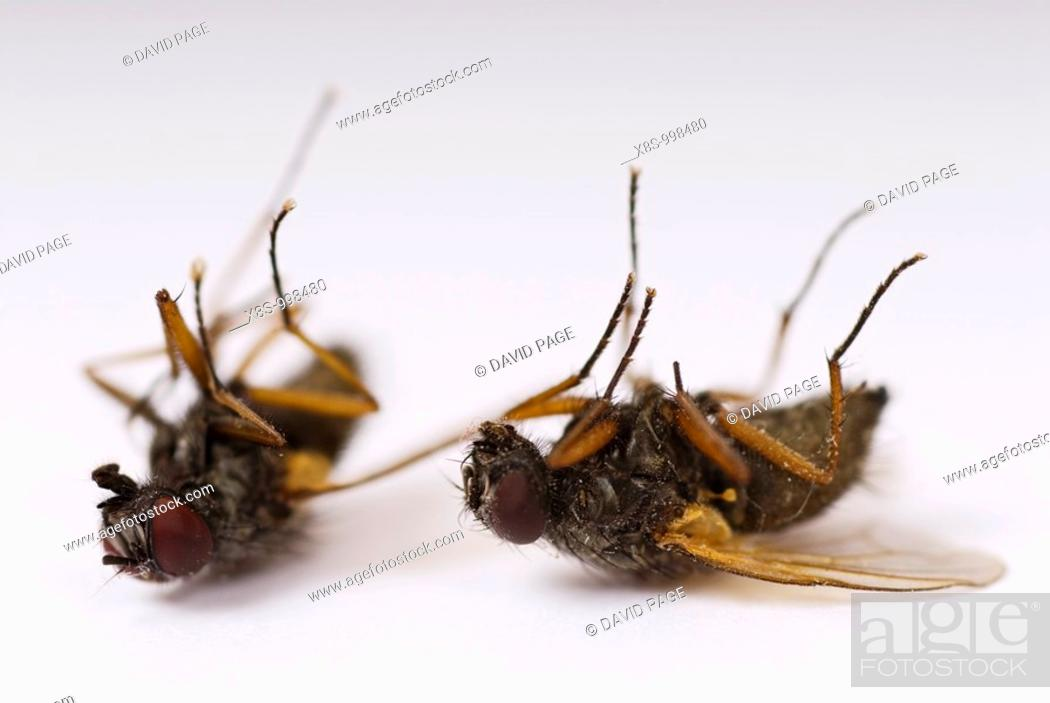 Stock Photo: Stock photo of two dead flies lying on their backs taken against a white background.