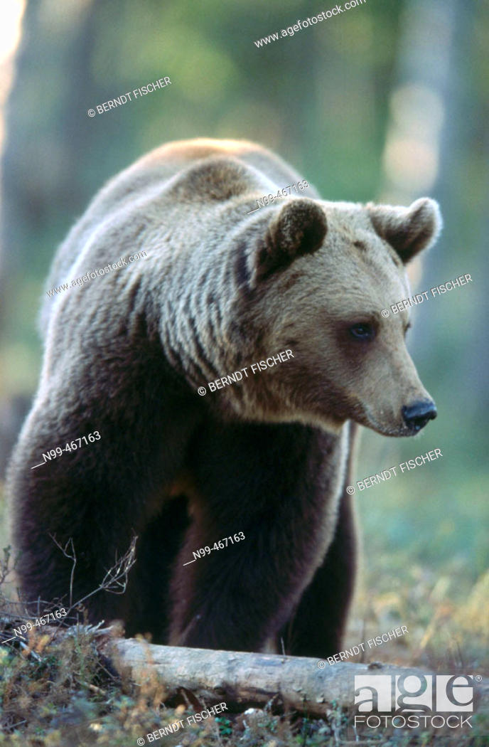 Stock Photo: Brown bear (Ursus arctos). Spring. Standing in the pine forest of Carelia near the Russian border. Finland.