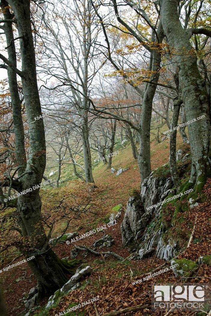 Stock Photo: Forest of beech and birch trees in autumn, Natural Park 'Collados del Asón' , Cantabria, Spain.