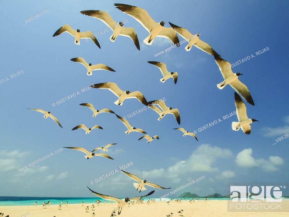 Stock Photo: Seabird, grup of Seagull fly, los roques, venezuela.