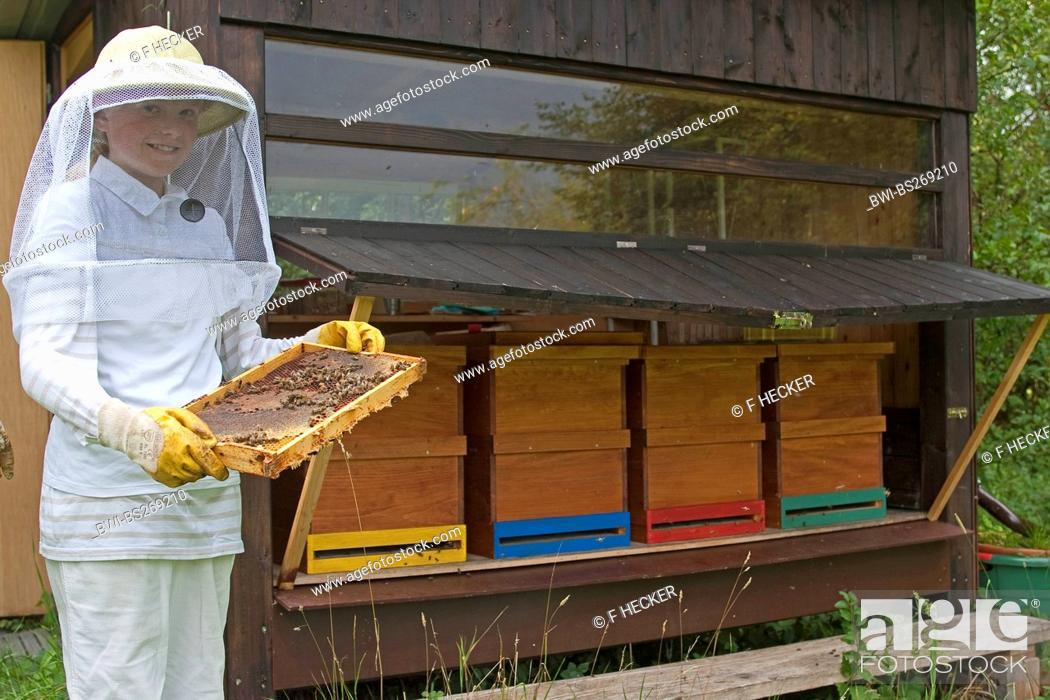 Stock Photo: honey bee, hive bee Apis mellifera mellifera, girl in beekeeper clothing controlling honeycombs, Germany.