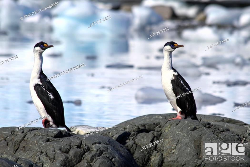 Stock Photo: imperial shag (Phalacrocorax atriceps) AKA antarctic shag on land photographed in Wilhelmina Bay Antarctica in November.