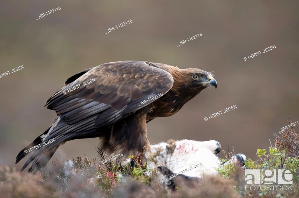 Stock Photo: Golden Eagle (Aquila chrysaetos).