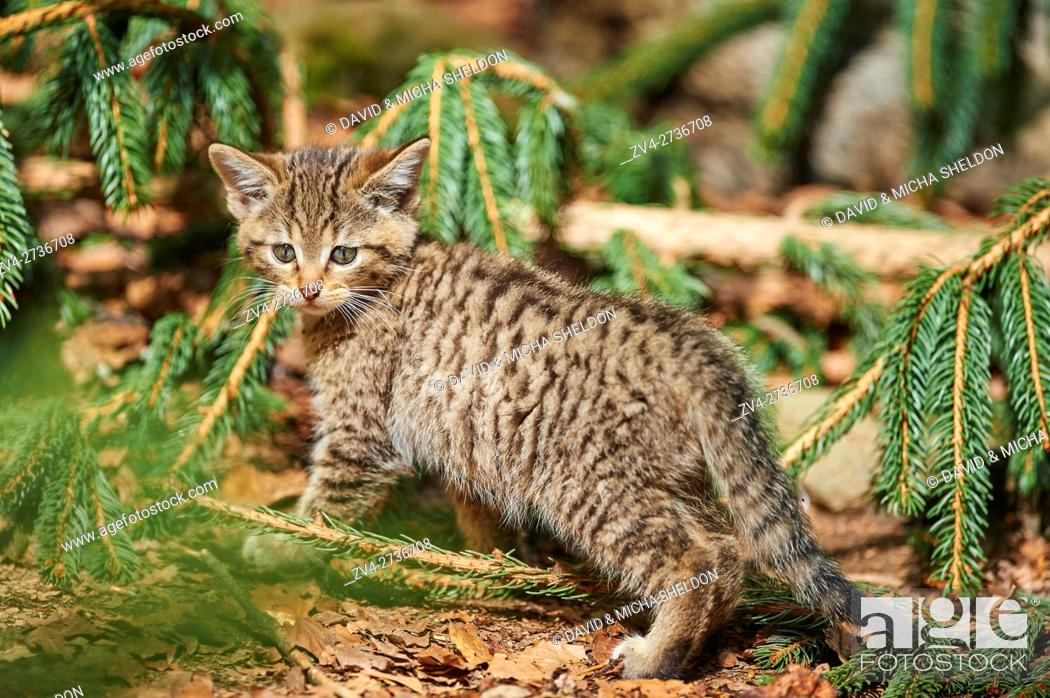 Stock Photo: Close-up of European wildcat (Felis silvestris silvestris) kitten in spring in the Bavarian forest, Germany.