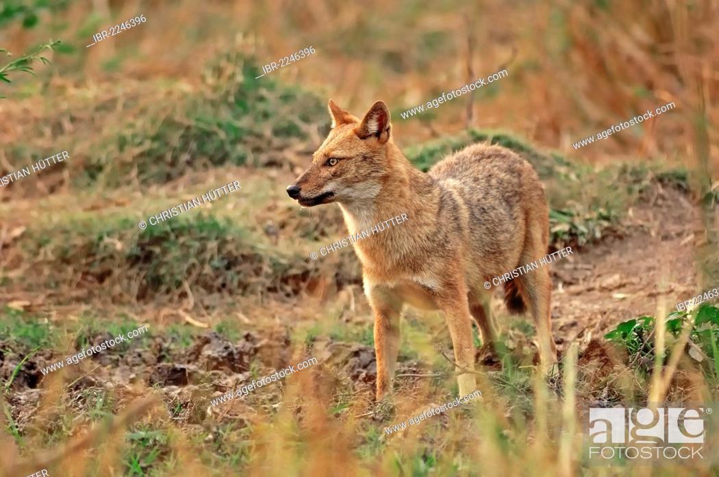 Stock Photo: Golden Jackal or Common Jackal (Canis aureus), Keoladeo Ghana National Park, Rajasthan, India, Asia.