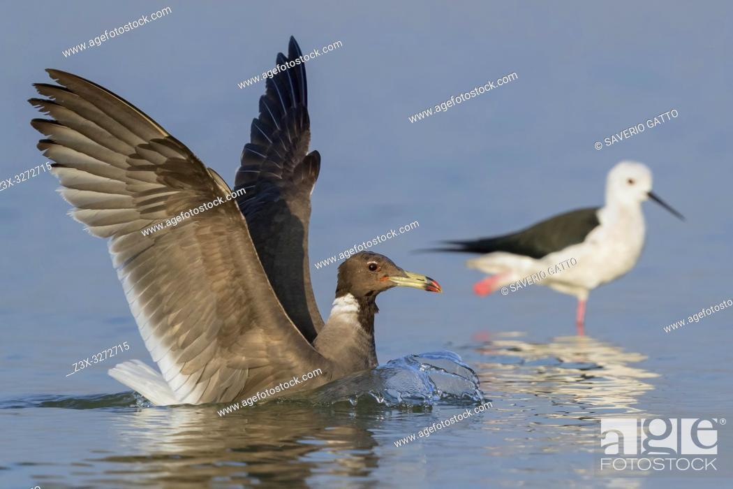Stock Photo: Sooty Gull (Ichthyaetus hemprichii), adult in winter plumage landing in the water.