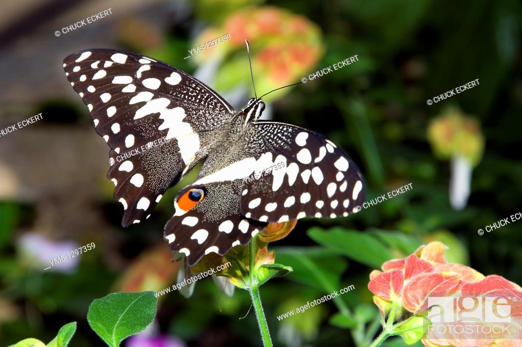 Stock Photo: Checkered Swallowtail Butterfly Papilio demoleus.