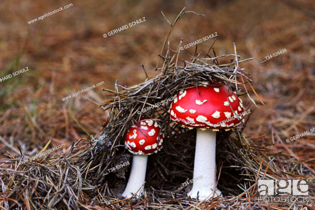 Stock Photo: Fly Agaric (Amanita muscaria). Schleswig-Holstein, Germany.