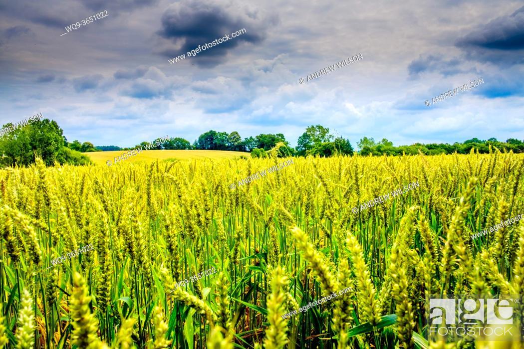 Stock Photo: Wheat growing in a field near near Brecé, Pays de la Loire, France.
