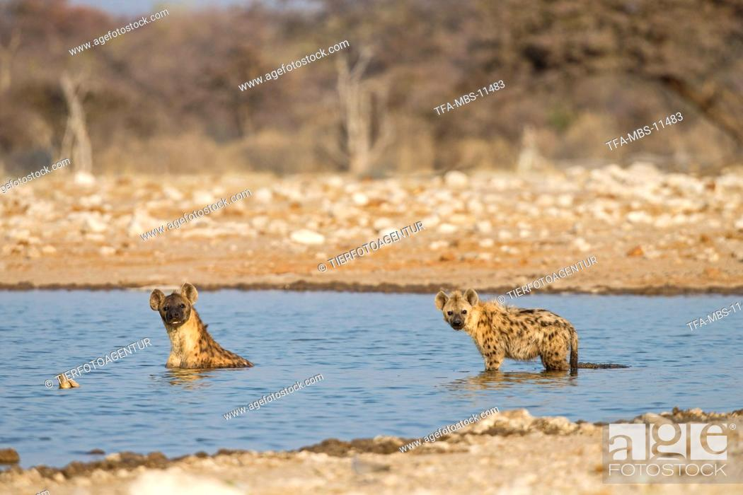 Stock Photo: spotted hyenas.