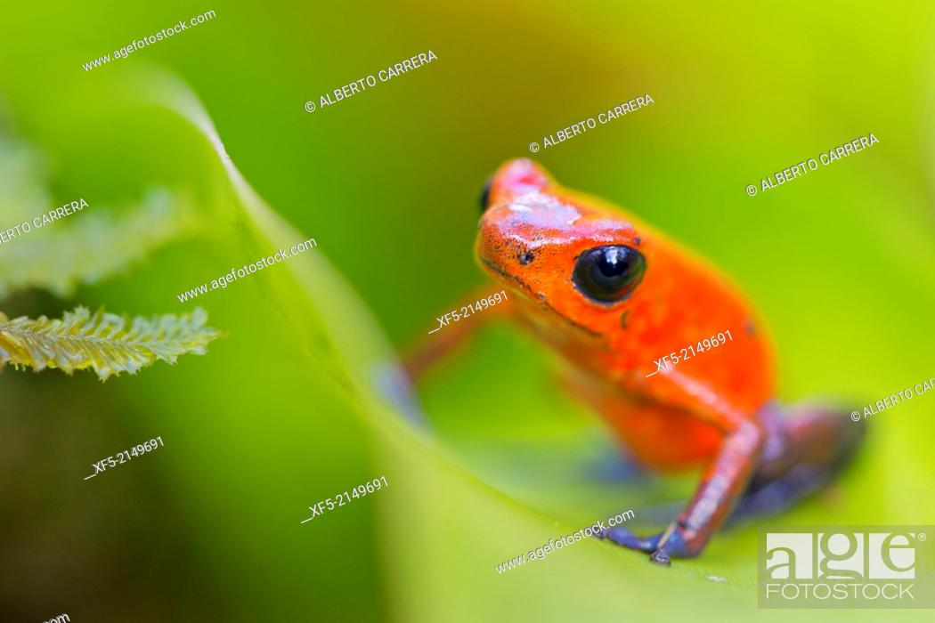 Stock Photo: Dart Poison Frog, Blue Jeans, Oophaga pumilio, Dendrobates pumilio,Tropical Rainforest, Costa Rica, Central America, America.