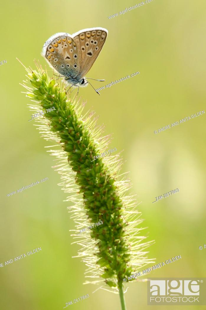 Stock Photo: Common Blue (Polyommatus icarus) on a flower sp.
